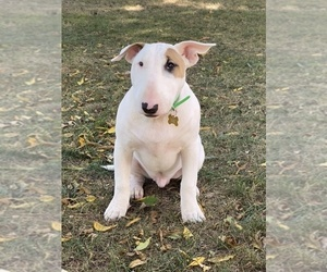 Bull Terrier Puppy for Sale in RICHMOND, Indiana USA