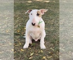 Bull Terrier Puppy For Sale in RICHMOND, IN, USA