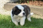 Saint Bernard Puppy For Sale in MILLERSBURG, Indiana,