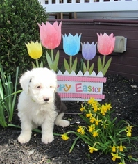Old English Sheepdog Puppy For Sale in GEORGETOWN, KY, USA