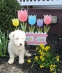 Puppy 8 Old English Sheepdog