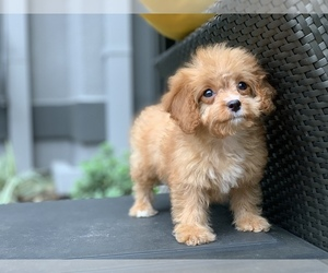 Cavapoo Puppy for Sale in HOUSTON, Texas USA