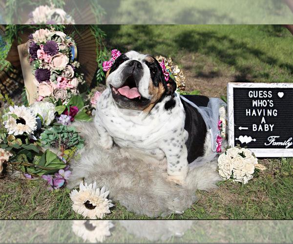 Medium Photo #5 Bulldog Puppy For Sale in CALDWELL, TX, USA