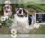 Small Photo #5 Bulldog Puppy For Sale in CALDWELL, TX, USA
