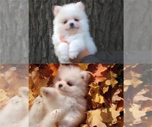 Pomeranian Puppy for sale in SAINT PAUL, MN, USA