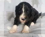 Small #9 Aussiedoodle-Poodle (Standard) Mix