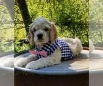 Rocky Buff Male AKC Reg Cocker Puppy