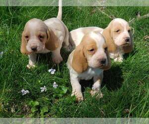 Basset Hound Dog for Adoption in MOUNTAIN GROVE, Missouri USA
