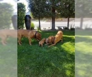 Dogue de Bordeaux Puppy for sale in RIPON, CA, USA