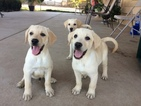 Labrador Retriever Puppy For Sale in STRATHMORE, CA, USA