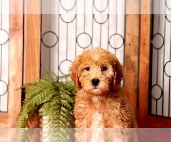 Medium Photo #2 Goldendoodle Puppy For Sale in NAPLES, FL, USA