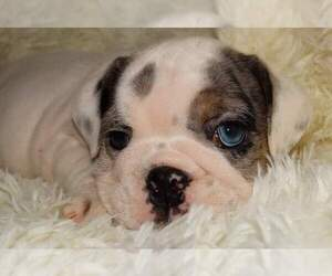 English Bulldog Puppy for Sale in VERONA, Missouri USA