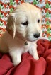 Golden Retriever Puppy For Sale near 46160, Morgantown, IN, USA