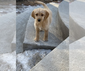 Labradoodle-Poodle (Standard) Mix Puppy for Sale in BLACK FOREST, Colorado USA