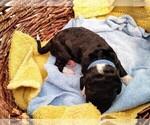 Puppy 11 Sheepadoodle