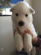 Siberian Husky Puppy For Sale in QUARTZ HILL, CA