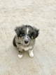 Miniature Australian Shepherd Puppy For Sale in STILLWATER, OK, USA