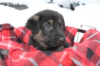 German Shepherd Dog Puppy For Sale in HAMILTON, MI, USA