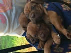 Dogue de Bordeaux Puppy For Sale in LITTLE ROCK, AR, USA