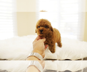 Poodle (Standard) Puppy for Sale in LAS VEGAS, Nevada USA