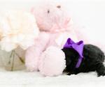 Small #7 Pomeranian-Poodle (Toy) Mix
