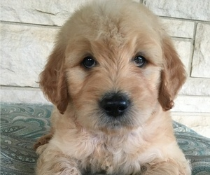 Goldendoodle Puppy for sale in FREDONIA, KY, USA