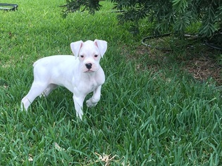 Boxer Puppy For Sale in SEGUIN, TX, USA