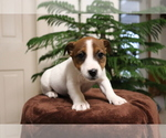 Small #1 Jack Russell Terrier