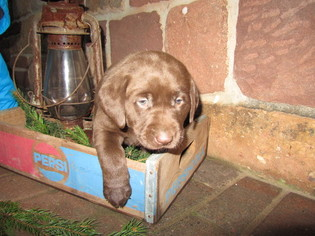 Labrador Retriever Puppy for sale in NEWMANSTOWN, PA, USA