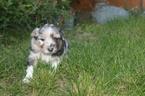 Australian Shepherd Puppy For Sale in PENDLETON, OR