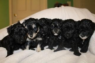 Maltipoo Puppy For Sale in JEFFERSONVILLE, IN