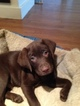 Labrador Retriever Puppy For Sale in SHELBYVILLE, IN