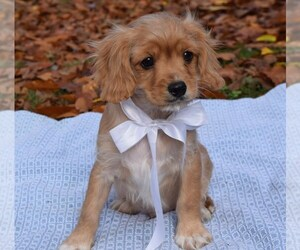 Cavapoo Puppy for sale in COSHOCTON, OH, USA