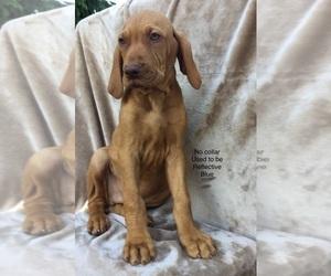 Vizsla Puppy for Sale in WARREN, Oregon USA
