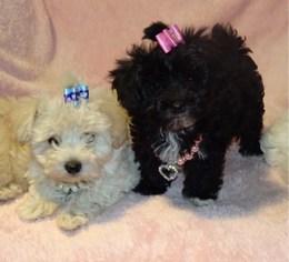 Maltipoo Puppy for sale in BONNY DOON, CA, USA