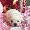 Pomeranian Puppy For Sale in MIAMI, FL, USA