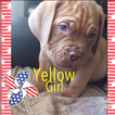 Dogue de Bordeaux Puppy For Sale in HESPERIA, CA, USA