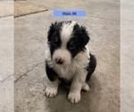 Puppy 3 Border-Aussie