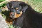 Rottweiler Puppy For Sale in SNOHOMISH, WA, USA