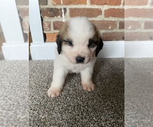 Saint Bernard Puppy for Sale in LANCASTER, Kentucky USA