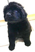 Newfoundland Puppy For Sale in SOLSBERRY, IN