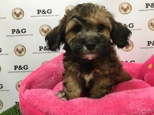 ShihPoo Mix Puppy For Sale in TEMPLE CITY, CA