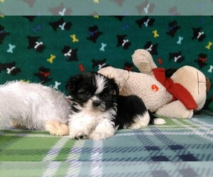 Shih Tzu Puppy for sale in WINSTON SALEM, NC, USA