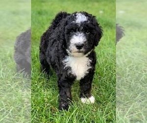Bernedoodle Puppy for Sale in OMAHA, Nebraska USA