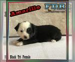 Amarillo Mini Black Tri Female Aussie