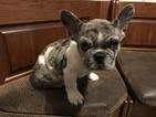 French Bulldog Puppy For Sale in MENTOR, OH, USA