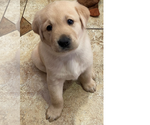 Puppy 6 Golden Labrador
