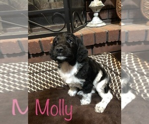 Labradoodle-Poodle (Standard) Mix Puppy for sale in FORT GIBSON, OK, USA