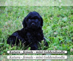Goldendoodle-Poodle (Miniature) Mix Puppy for sale in HOPKINSVILLE, KY, USA