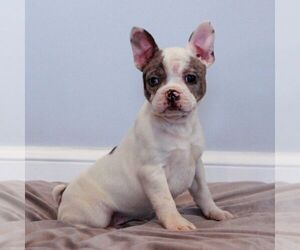 Faux Frenchbo Bulldog Puppy for sale in NARVON, PA, USA